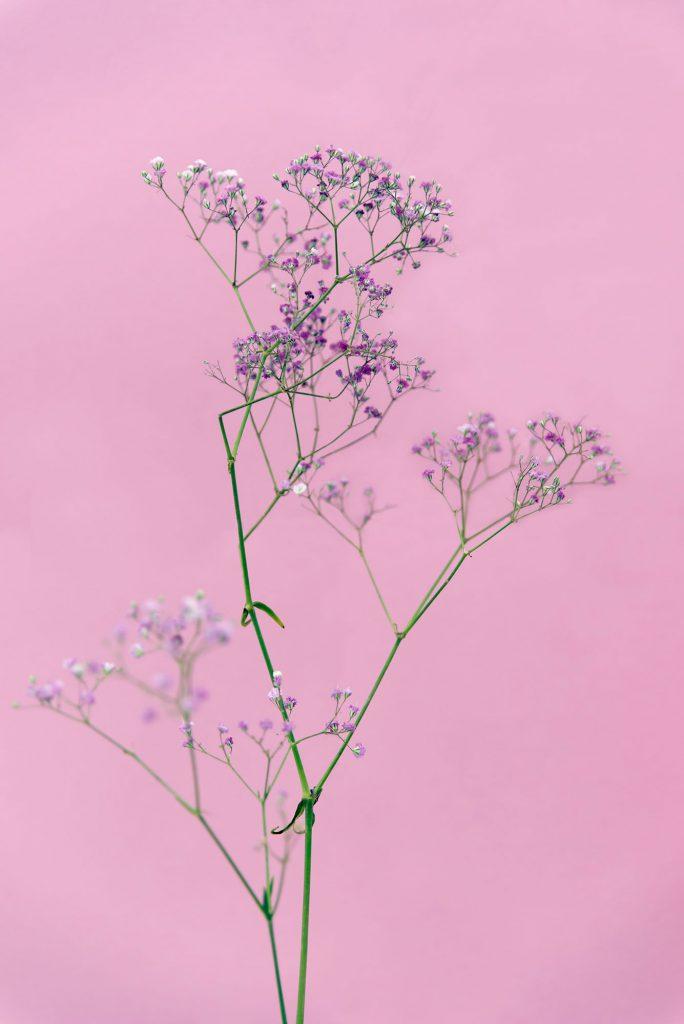 Roze bloem Flowers