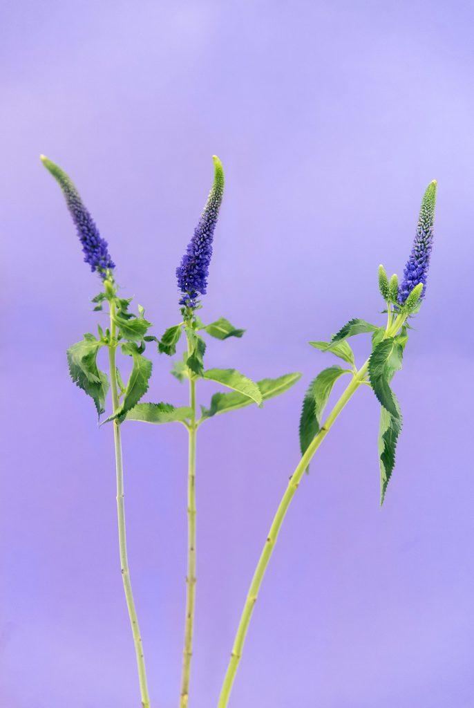 paars bloemen serie Flowers