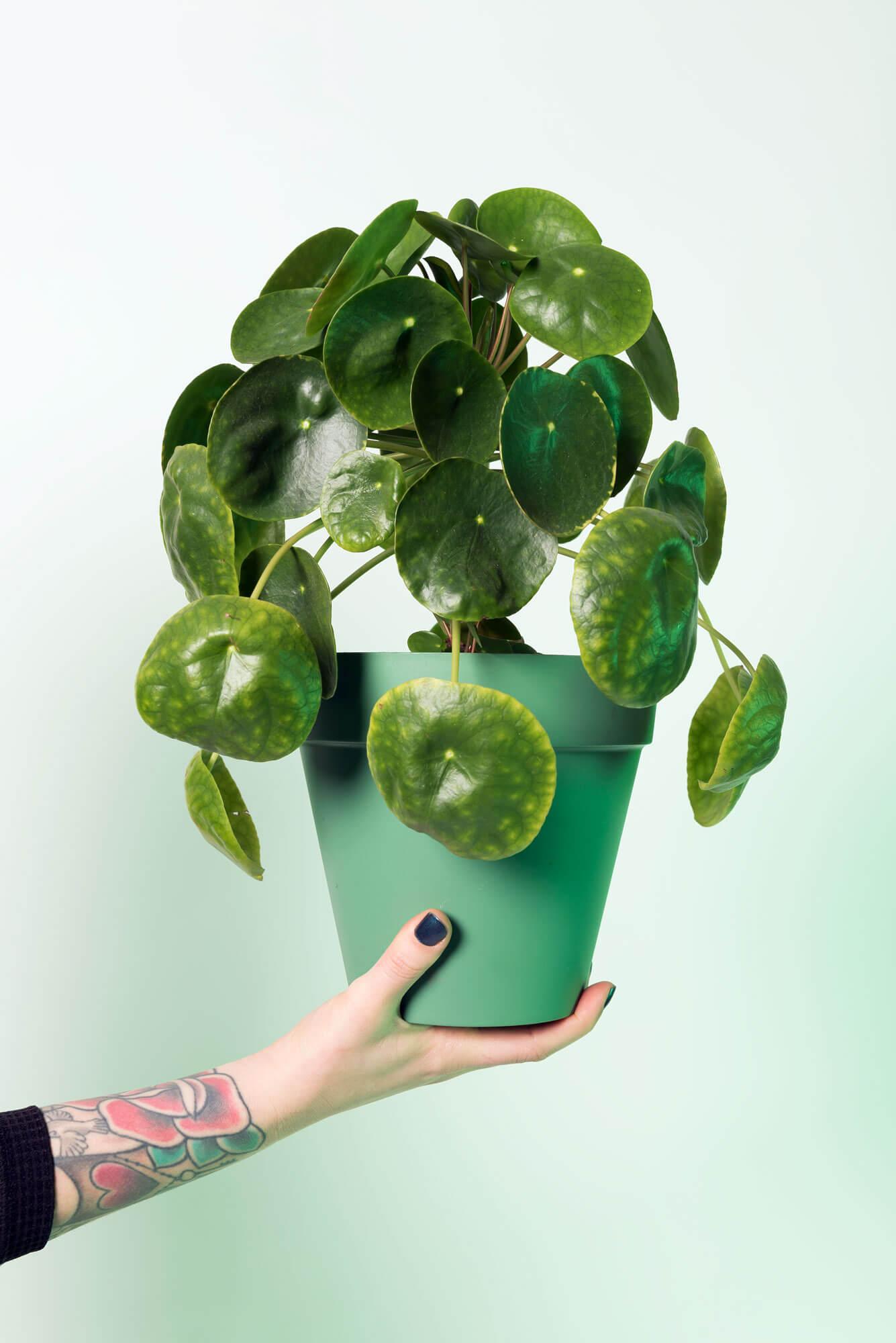 Pannekoekplant, gedragen door pleun haar hand voor meaning of meaning