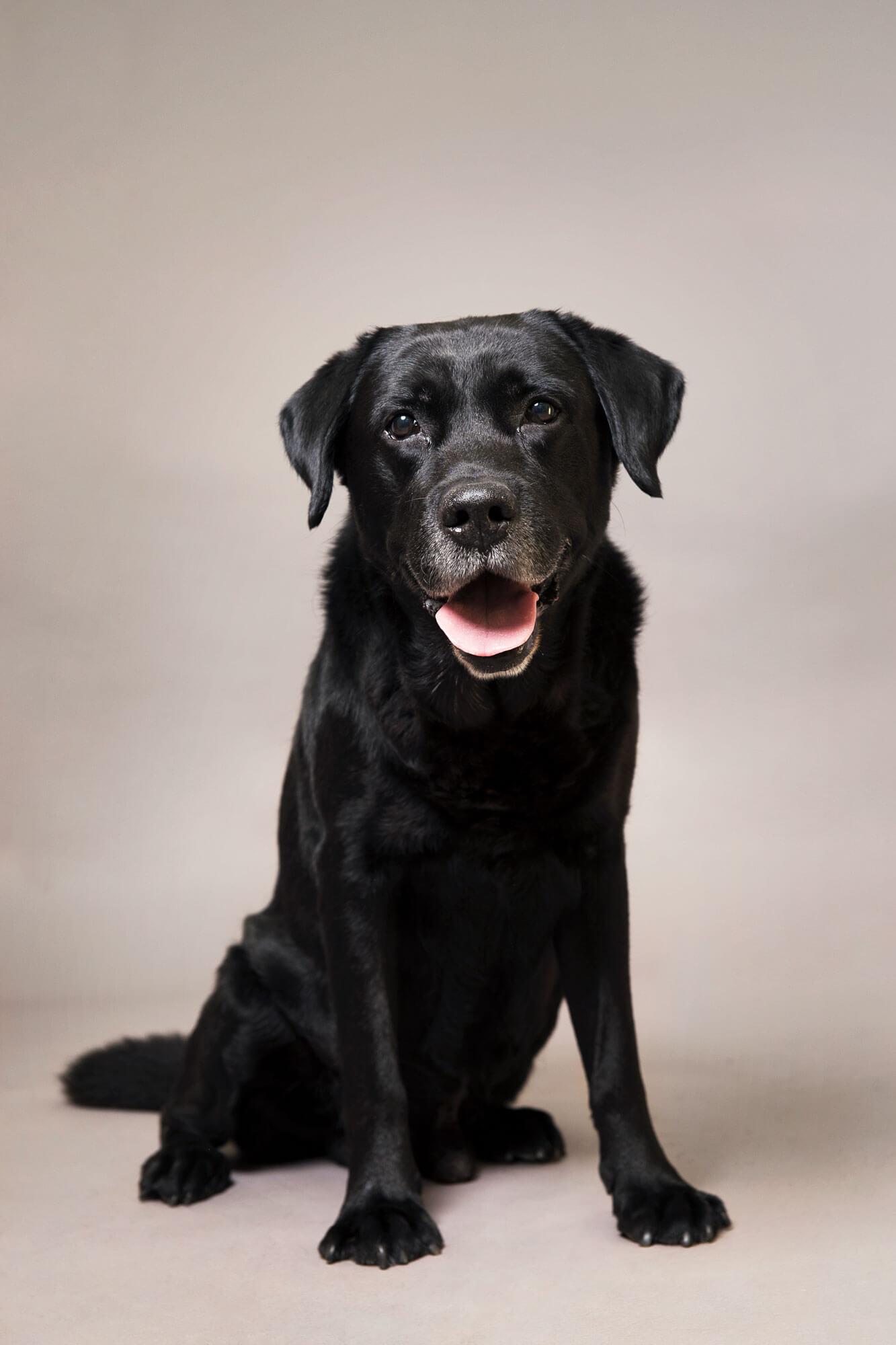 hondenfotografie labrador Boris