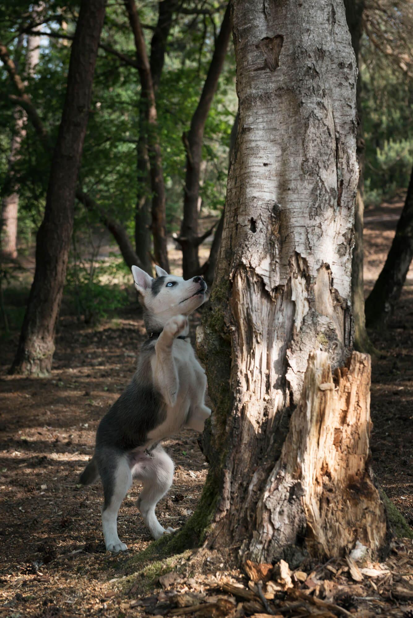 Husky pup Desna op onderzoek