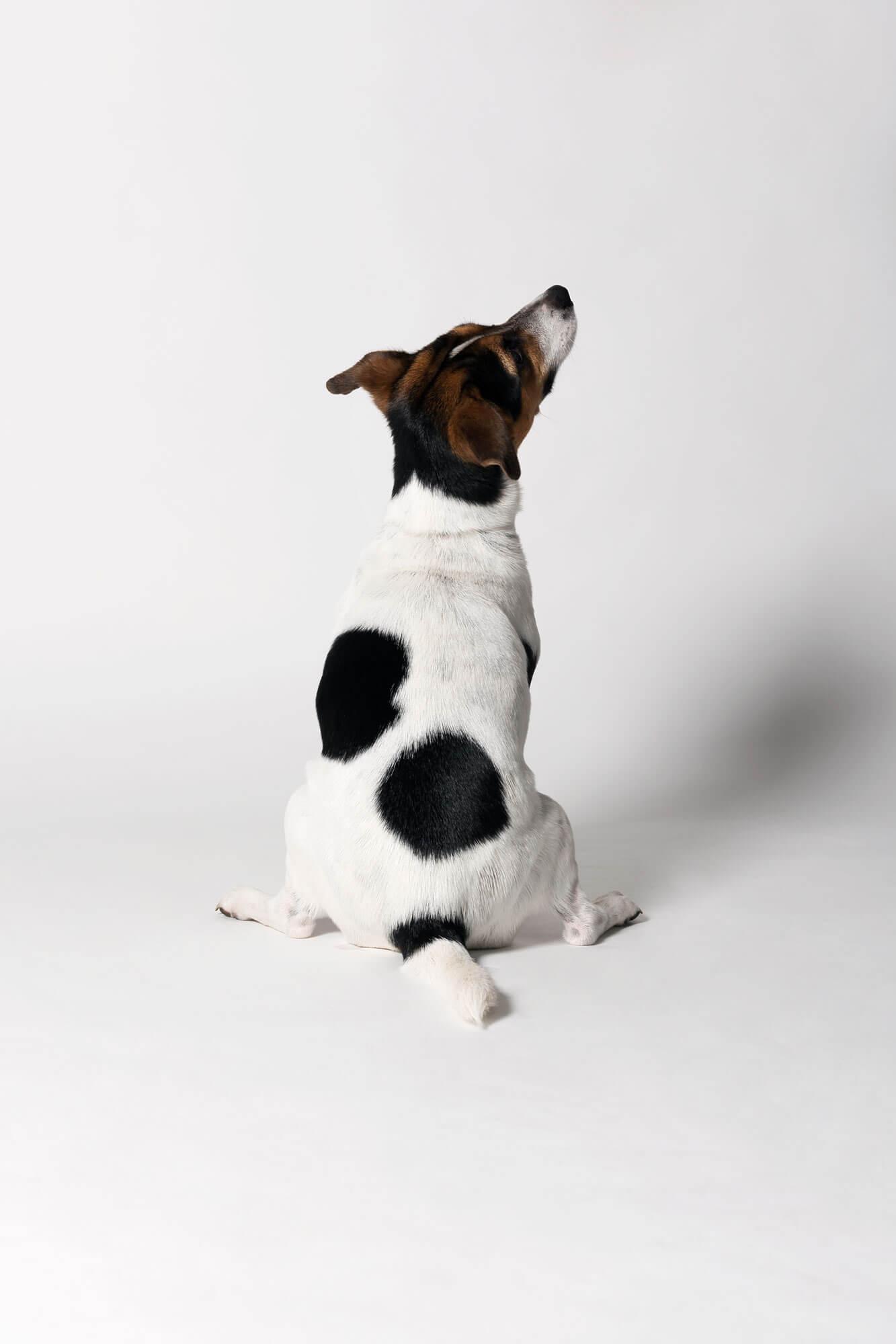 Honden foto studio Jack Russel