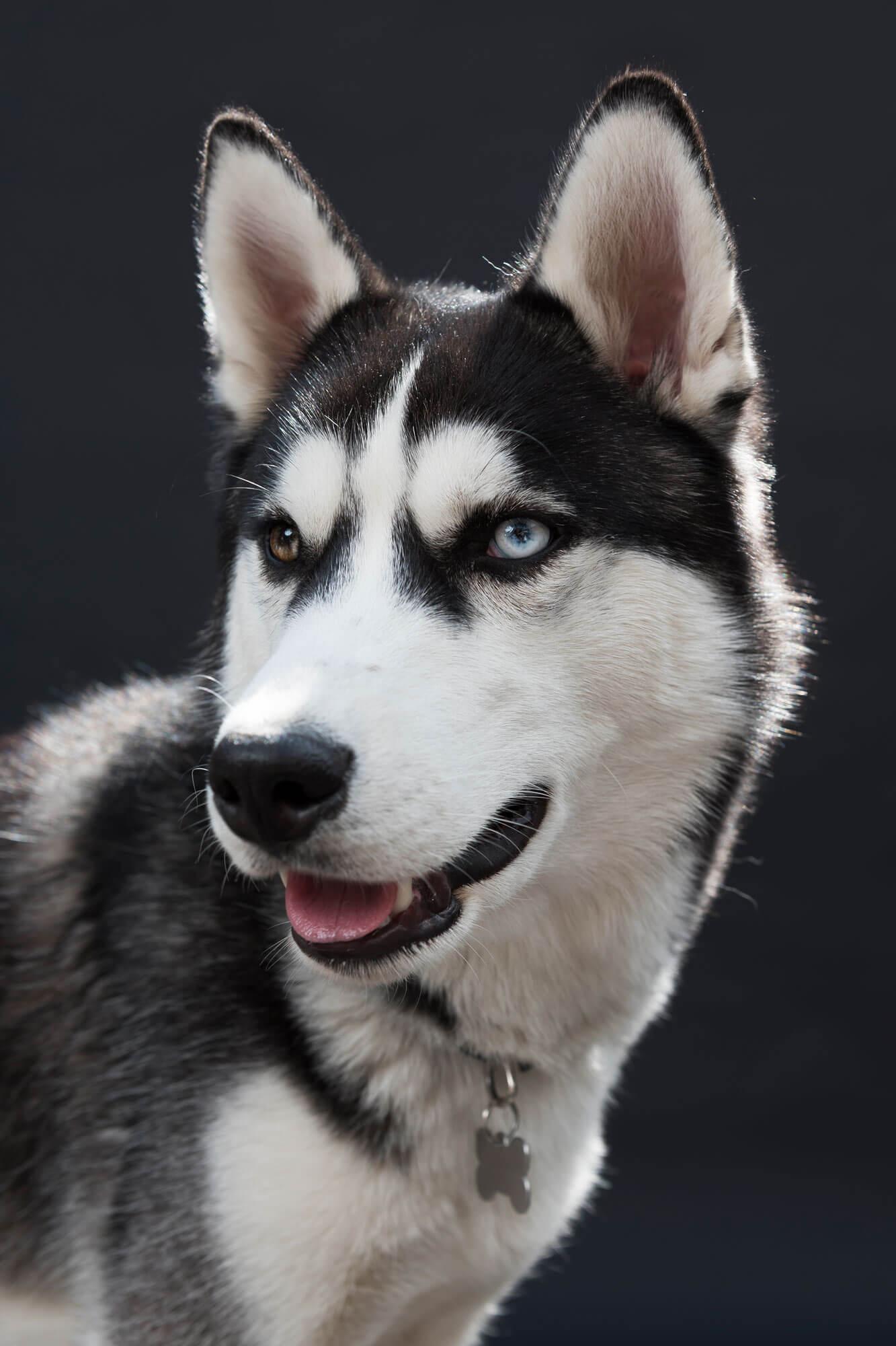 hondenfotografie Igor Husky